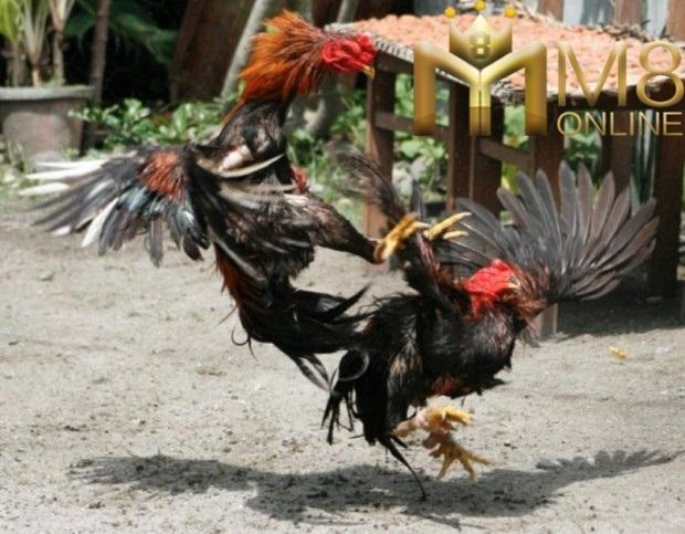 agen-sabung-ayam-online-manado-sulawesi-utara-620x483
