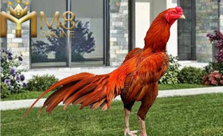 ayam-bangkok-aduan